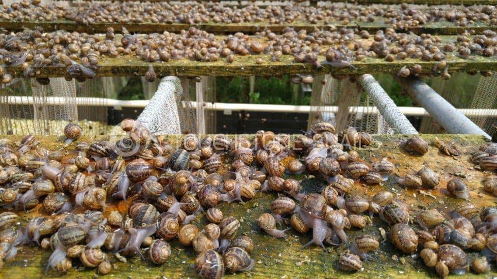 Выращивание улиток в литве 38